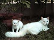 Чисто белого котенка