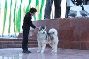 Продам щенков Аляскинского Маламута в Павлодаре от Титулованных родите