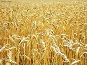 Куплю пшеницу 1, 2 классов