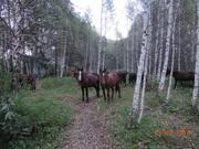 Продаются лошади Новоалтайской породы